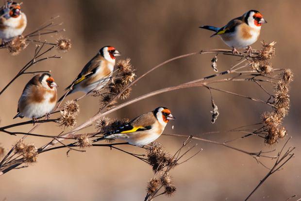 Ptaki, które zostają na zimę - szczygieł. Zdjęcie ilustracyjne