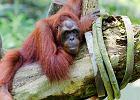 Olej palmowy jednak dobry? WWF: lepszy niż sojowy
