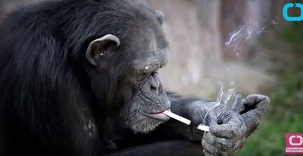 Szympansica pali paczkę papierosów dziennie
