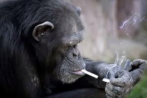 Szympans palący papierosy? Tylko jedno zoo na świecie oferuje tak kontrowersyjną atrakcję