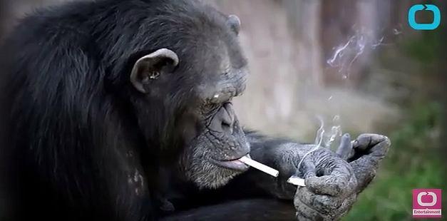 Zdjęcie numer 1 w galerii - Szympans palący papierosy? Tylko jedno zoo na świecie oferuje tak kontrowersyjną atrakcję