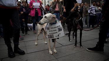 Hiszpanie protestują przeciwko uśpieniu psa pielęgniarki zakażonej wirusem Ebola