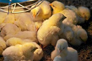 Ptasia grypa straszy hodowców drobiu. Spadnie nasz eksport?