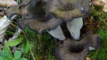 Craterellus cornucopioides czyli lejkowiec dęty (zdjęcie ilustracyjne)