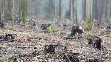 Wycinka w Puszczy Białowieskiej