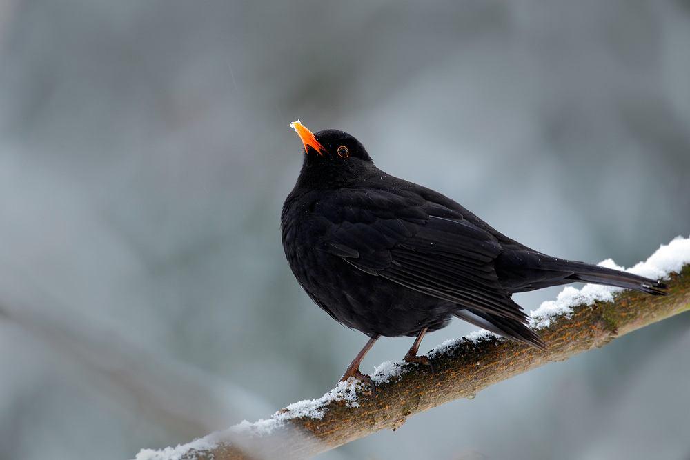Ptaki, które zostają na zimę - kos. Zdjęcie ilustracyjne