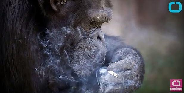 Zdjęcie numer 2 w galerii - Szympans palący papierosy? Tylko jedno zoo na świecie oferuje tak kontrowersyjną atrakcję