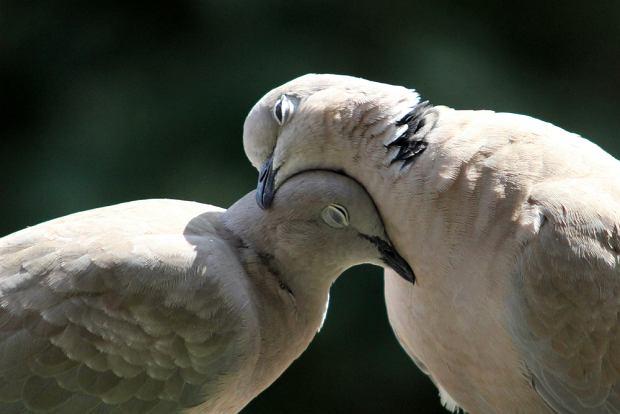 Ptaki, które zostają na zimę - sierpówki. Zdjęcie ilustracyjne