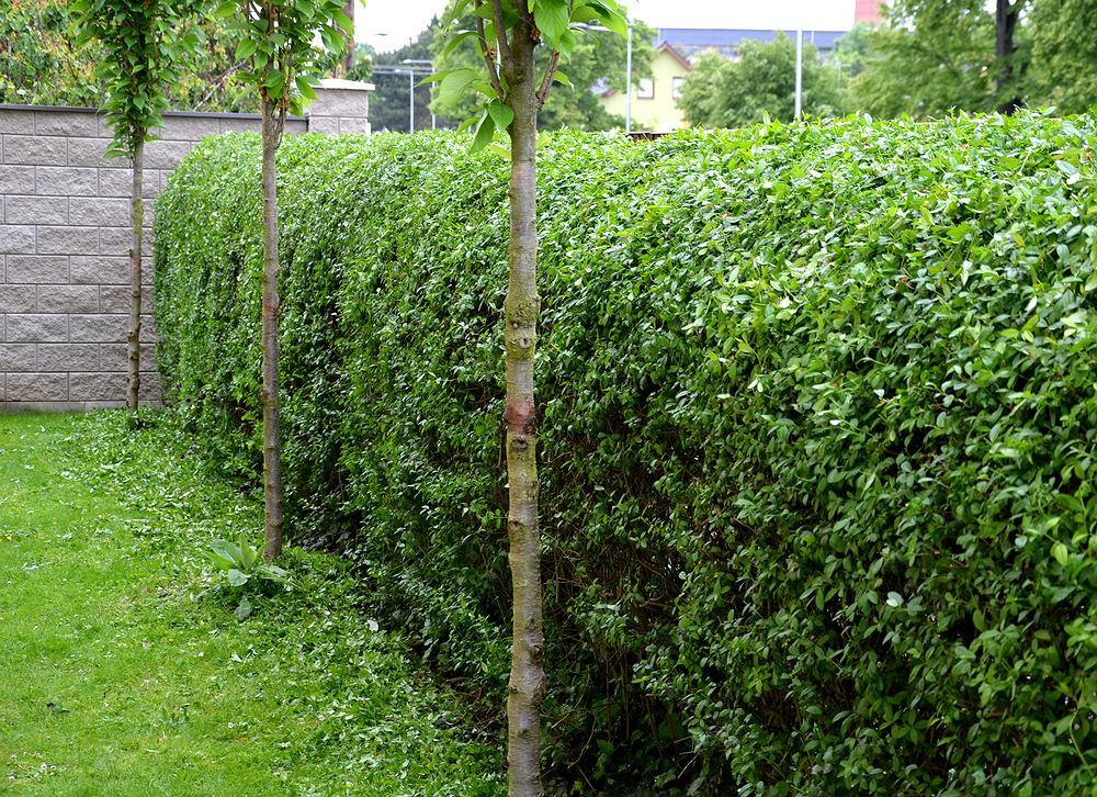 Kwiaty / rośliny niebezpieczne dla psa: ligustr pospolity. Zdjęcie ilustracyjne
