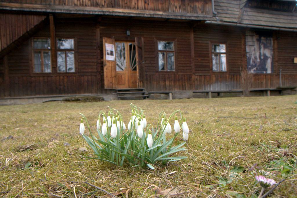 Kwitnące krokusy przed Muzeum Jana Kochanowskiego w Zakopanem.
