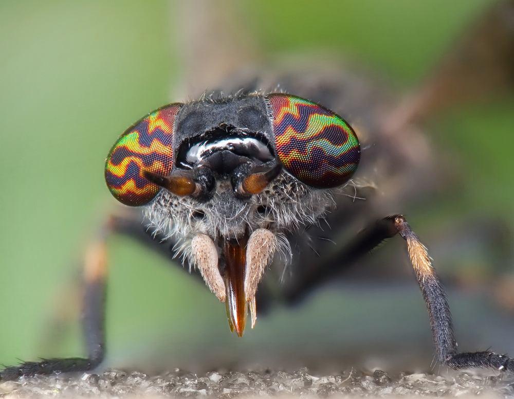 Mucha końska. Zdjęcie ilustracyjne