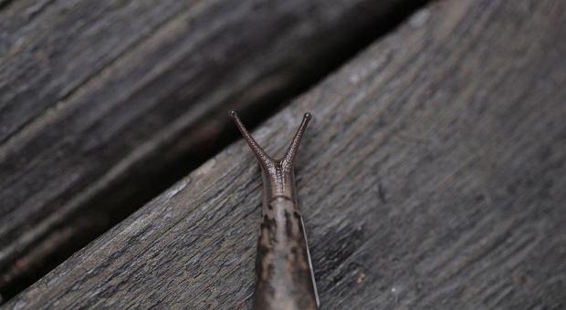 Niektóre ślimaki (choćby nagie pomrowy) to mistrzowie kamuflażu. Uważaj, żeby nie wdepnąć