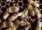 Mleczko pszczele - co to jest i jakie ma właściwości? Gdzie możemy je kupić?