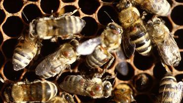 Mleczko pszczele - jakie ma właściwości?