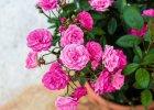 Balkon: usłany różami