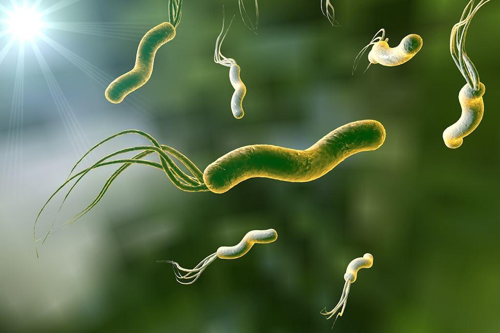 Helicobacter pylori jest bakterią obecną w kale i ślinie osoby nią zarażonej