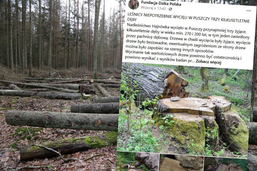 Trzy dęby wycięte w Puszczy Białowieskiej