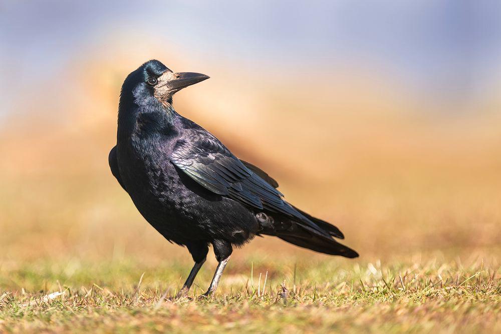 Ptaki, które zostają na zimę - gawron. Zdjęcie ilustracyjne