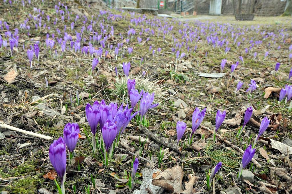 Krokusy przed Muzeum Jana Kochanowskiego zapowiadają wiosnę.