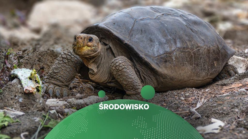 Żółwica znaleziona na Fernandinie
