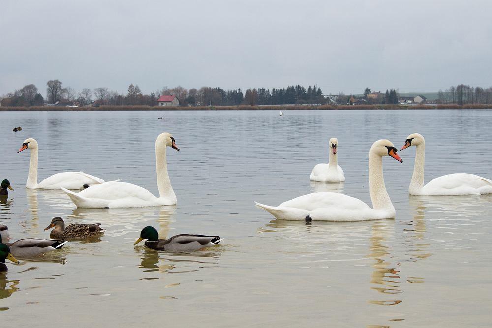 Ptaki, które zostają na zimę - łabędzie i kaczki. Zdjęcie ilustracyjne