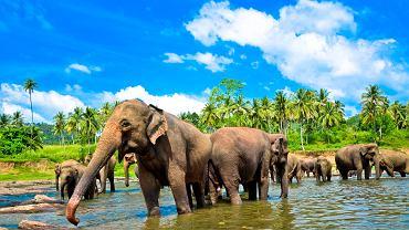 Słonie na Sri Lance mają specjalne przywileje.