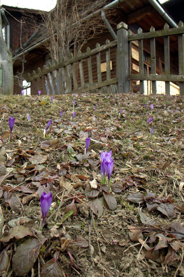 Kwitnące krokusy zapowiadają rychłe nadejście wiosny.
