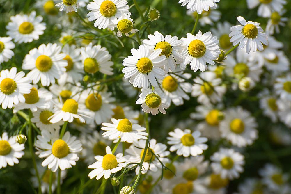 Rumianek w postaci naparów, nalewek i herbatek zrobionych z suszonych kwiatostanów jest używany jako środek przeciwzapalny i przeciwskurczowy.