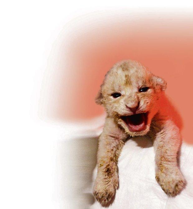 Biały lew, jeden z czterech urodzonych w zoo w Tbilisi