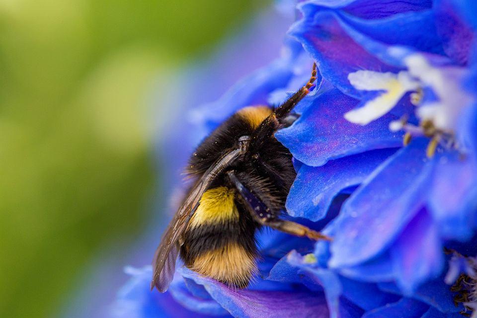 Pszczoła, adoptuj pszczołę