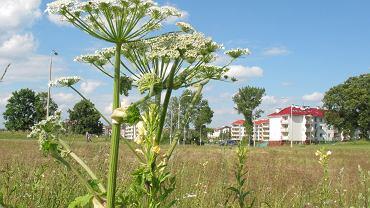 Barszcz Sosnowskiego wkrótce zakwitnie i zaowocuje. Rodzice powinni ostrzec dzieci przed niebezpieczną rośliną