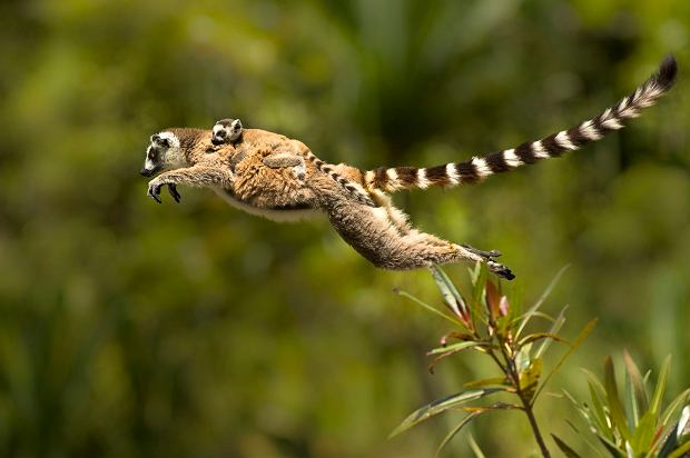 A Ring-tailed lemur jumping with baby.