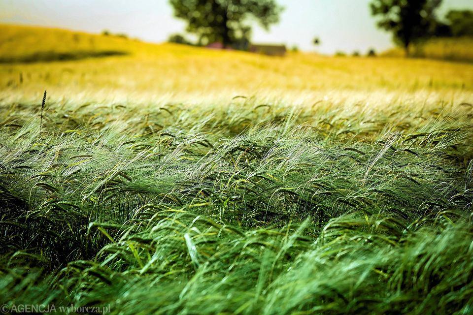 Po zakończeniu żniw rolnicy z całej Polski mają jeszcze jeden obowiązek do wypełnienia - udział w Powszechnym Spisie Rolnym. Na zdjęciu: jęczmień na polach pod Opatowem