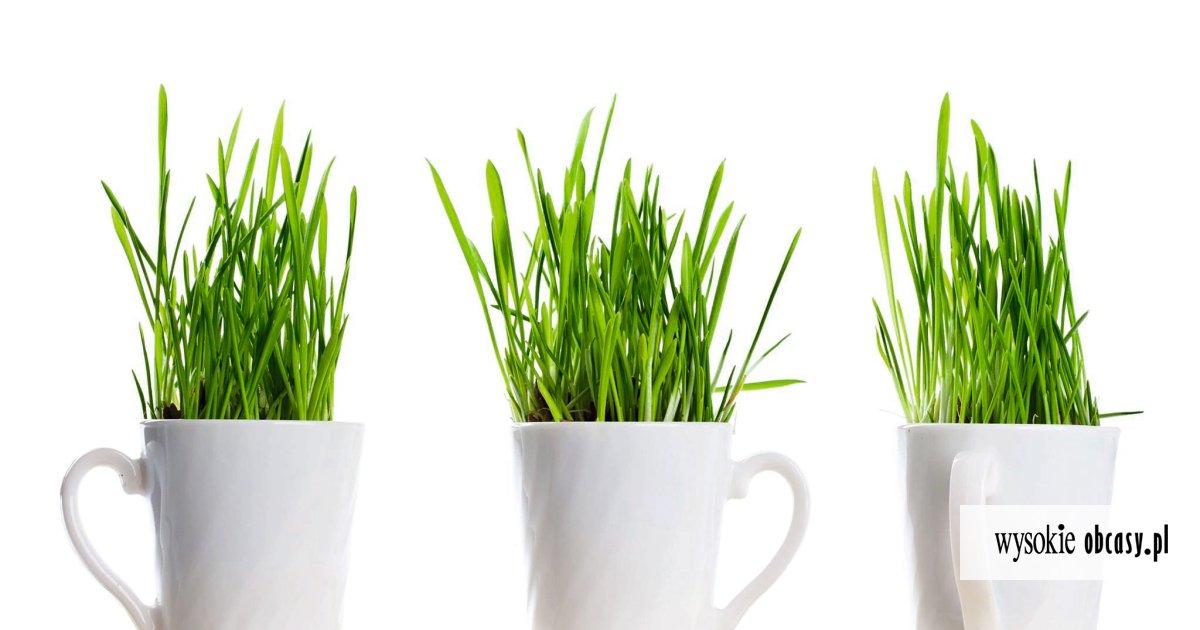 zielony jęczmień w proszku jak stosować