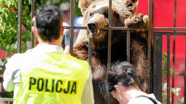 Niedźwiedź brunatny Baloo był trzymany w cyrku Vegas w warunkach zagrażających jego życiu i zdrowiu. Fundacja Viva odebrała go właścicielom cyrku 6 lipca 2016 r. w Pawłowicach na Śląsku