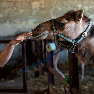 Dromadery, czyli wielbłądy jednogarbne, dają więcej mleka ilepszej jakości niż dwugarbne baktriany. 3-4 litry dziennie.