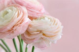 Jaskier - kwiat do domu i do ogrodu. Podpowiadamy, jak go pielęgnować