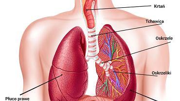 W skład układu oddechowego wchodzą: jama nosowa, zatoki przynosowe, gardło, krtań, tchawica, oskrzela, osrzeliki i płuca.