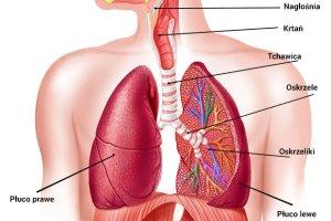 UKŁAD ODDECHOWY - budowa, funkcje i najczęstsze choroby