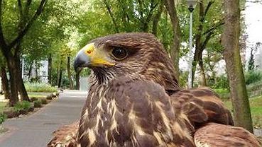 Jastrząb spłoszy osiedlowe ptaki na Ursynowie