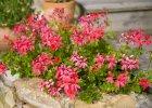 Kwiaty na balkon - letnie kompozycje na słoneczne dni