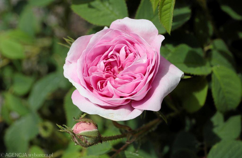 Rozarium w Ogrodzie Botanicznym Geonatura Kielce. Róża ''Maiden's Blush ', syn.: Bella Donna, grupa róże białe