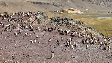 Pingwinisko przy Polskiej Stacji Antarktycznej im. Arctowskiego