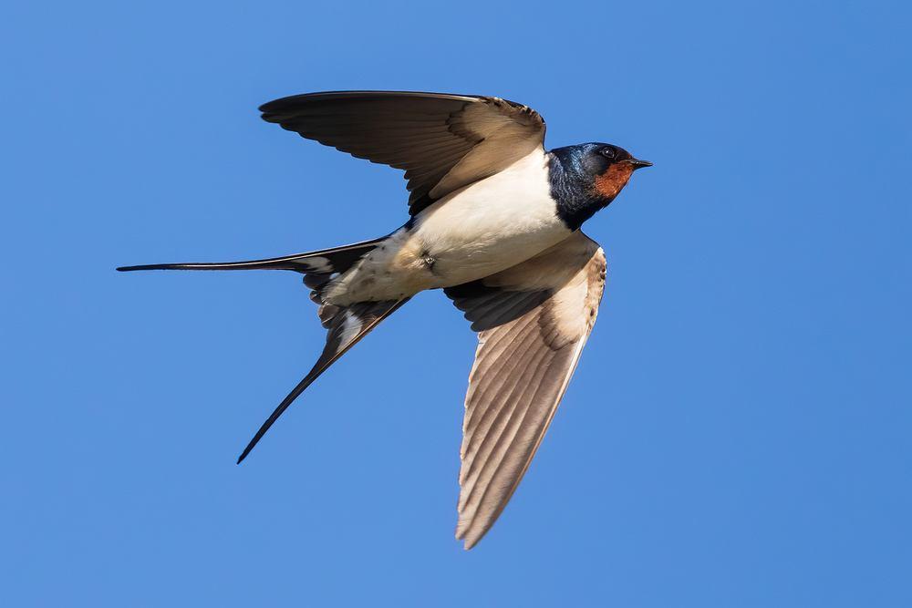 Ptaki, które odlatują na zimę - jaskółka. Zdjęcie ilustracyjne