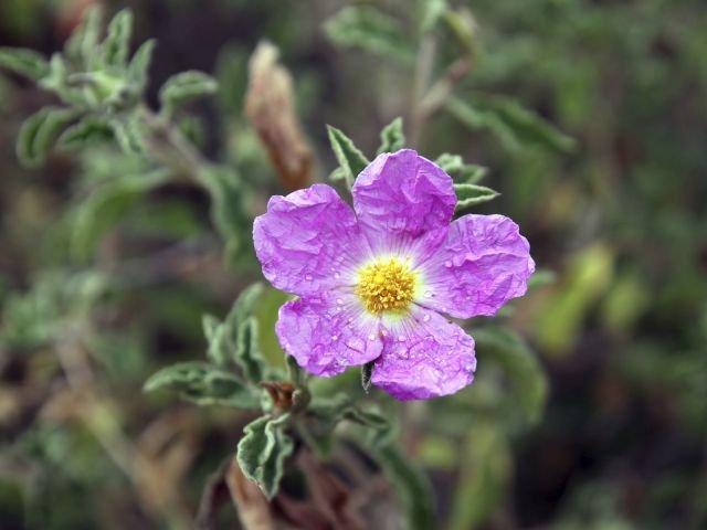 Do najpopularniejszych rodzajów czystka należą czystek kreteński o różowych kwiatach oraz czystek siwy, który również ma różowe kwiaty, ale wyróżnia się jajowatymi, pomarszczonymi liśćmi.