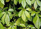 Gynostemma (ziele długowieczności): czy hamuje proces starzenia