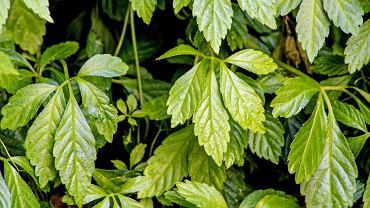 Gynostemma pentaphyllum jest to łacińska rośliny znanej jako Jiaogulan lub ziele długowieczności.