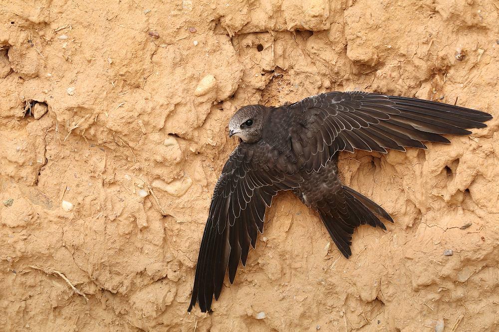 Ptaki, które odlatują na zimę - jerzyk. Zdjęcie ilustracyjne