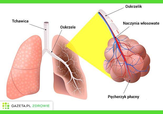 Budowa dolnych dróg oddechowych