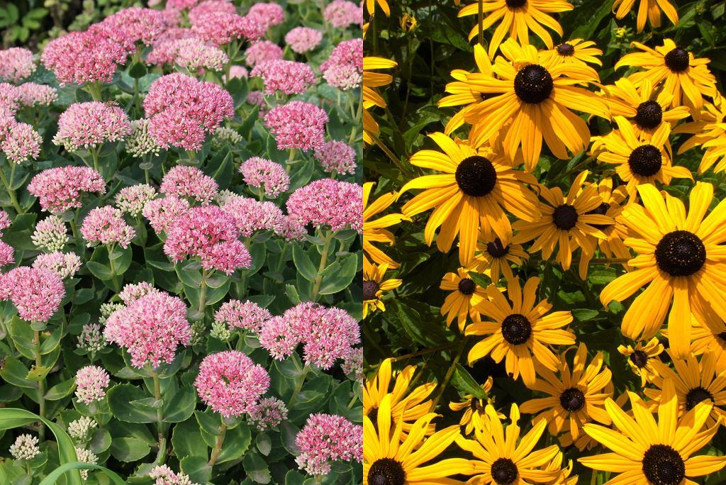 kwiaty wieloletnie - rozchodnik, rudbekia błyskotliwa 'Goldsturm'